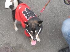 Look at this dog! His name is Sakura.